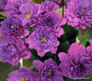 double, water lily style purple dahlia