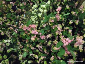pink and white snowberry