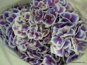 blue & white bi-coloured hydrangea
