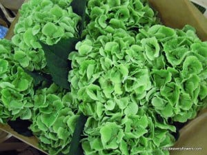 bright green hydrangea heads