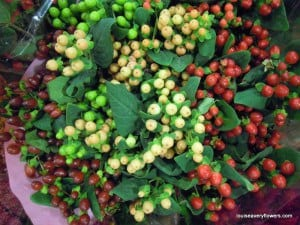 mixed coloured hypericum berries
