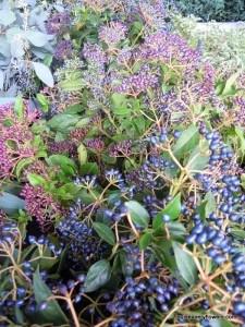 metalic blue viburnum tinus berries
