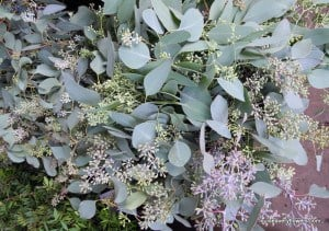english eucalyptus flower & berry