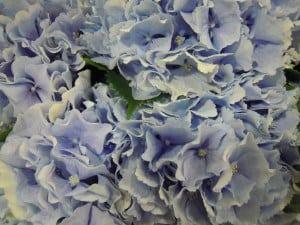 pale blue hydrangea heads