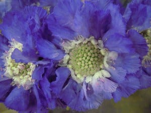 blue scabious flowers