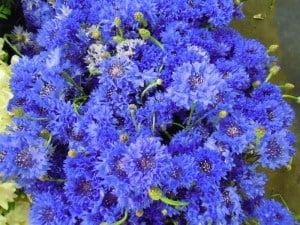 Blue flowers.  Blue Cornflowers