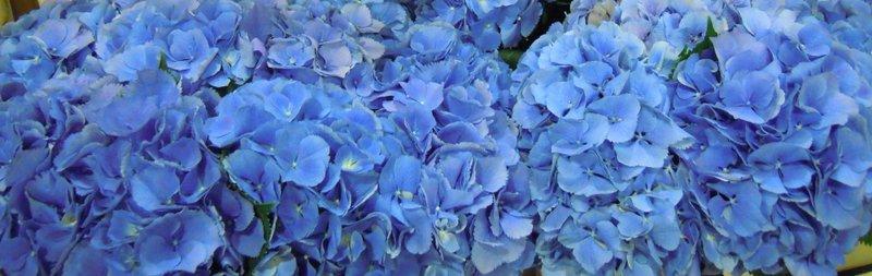 mid blue hydrangea heads