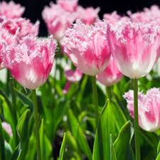 Tulips. frilled edge pink tulips
