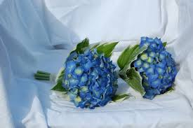 mid blue hydrangea bridemaids bouquets, secured with satin ribbon