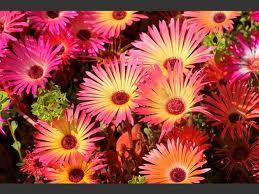 flowers mesabryanthimums