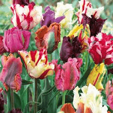 Tulip. Mixed parrot tulips