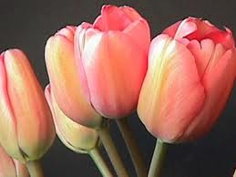 Tulips. soft pink single tulips