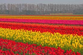 tulip.  fields in Holland