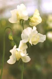 Cream Sweet Peas