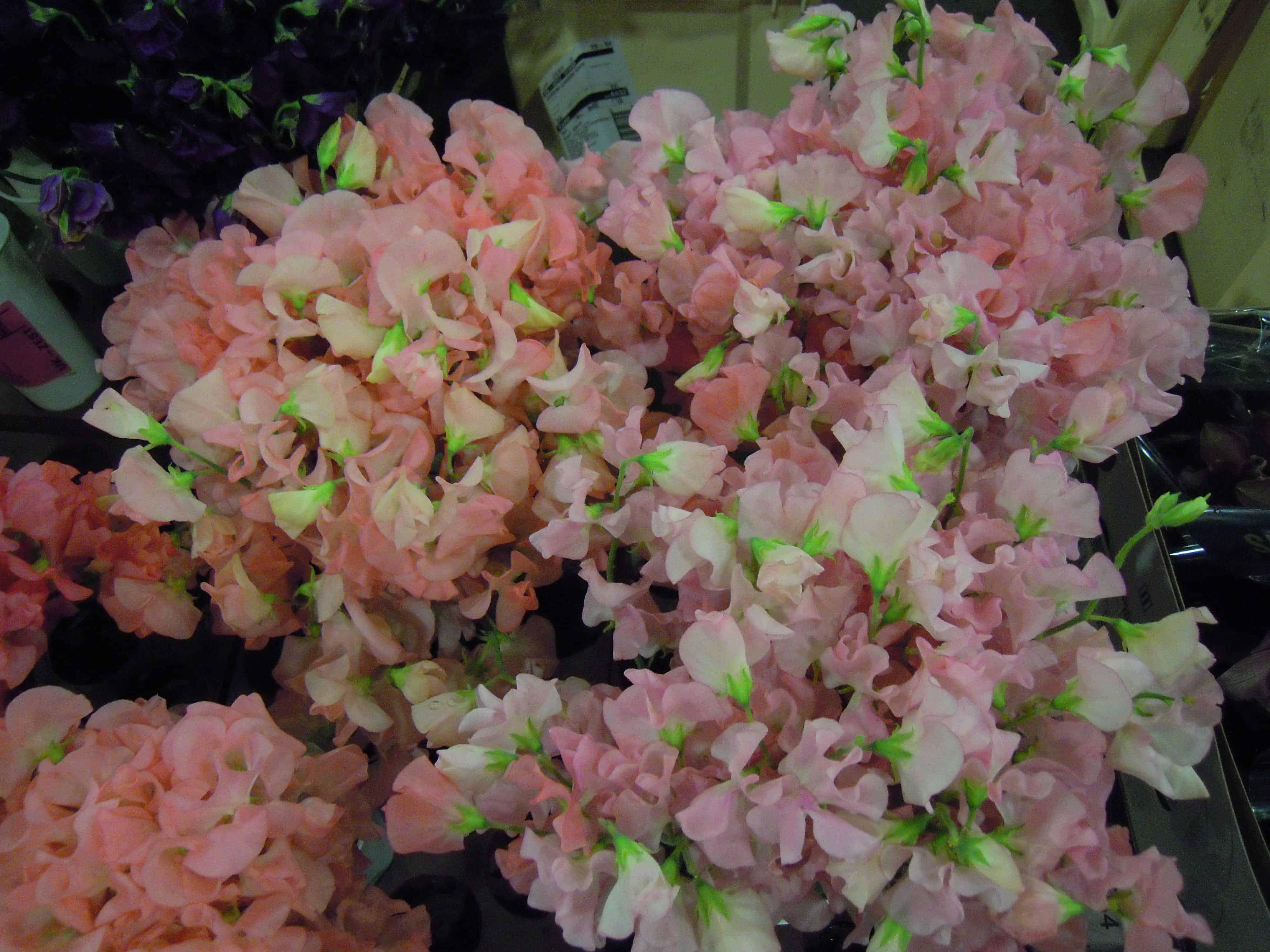 pale pink sweet peas