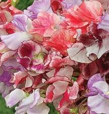 mixed sweet peas